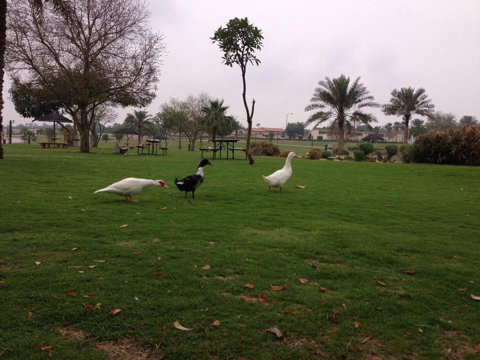 حديقة بحيرة البط