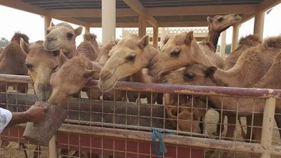 حديقة حيوان Camel Yard