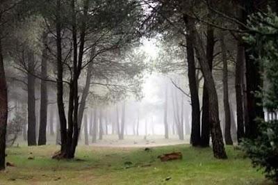اخبار عن غابة الصنوبر